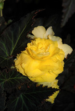 Squak Mtn Begonia Nonstop Mocca Yellow 4""