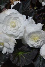 "Squak Mtn Begonia Nonstop Mocca White 4"""