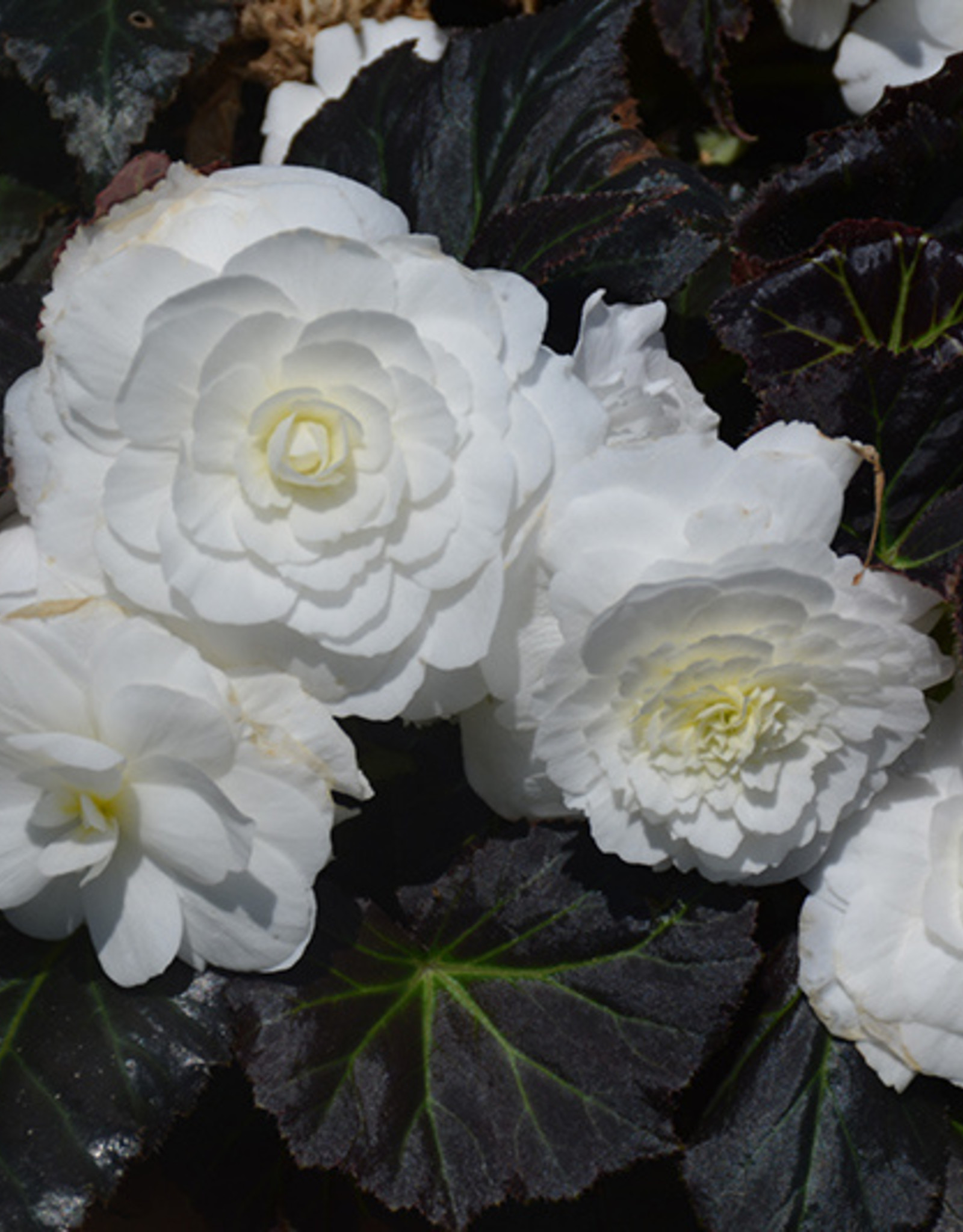 Squak Mtn Begonia Nonstop Mocca White 4""