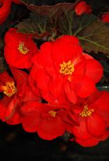 """Squak Mtn Begonia Nonstop Mocca Scarlet 4"""""""