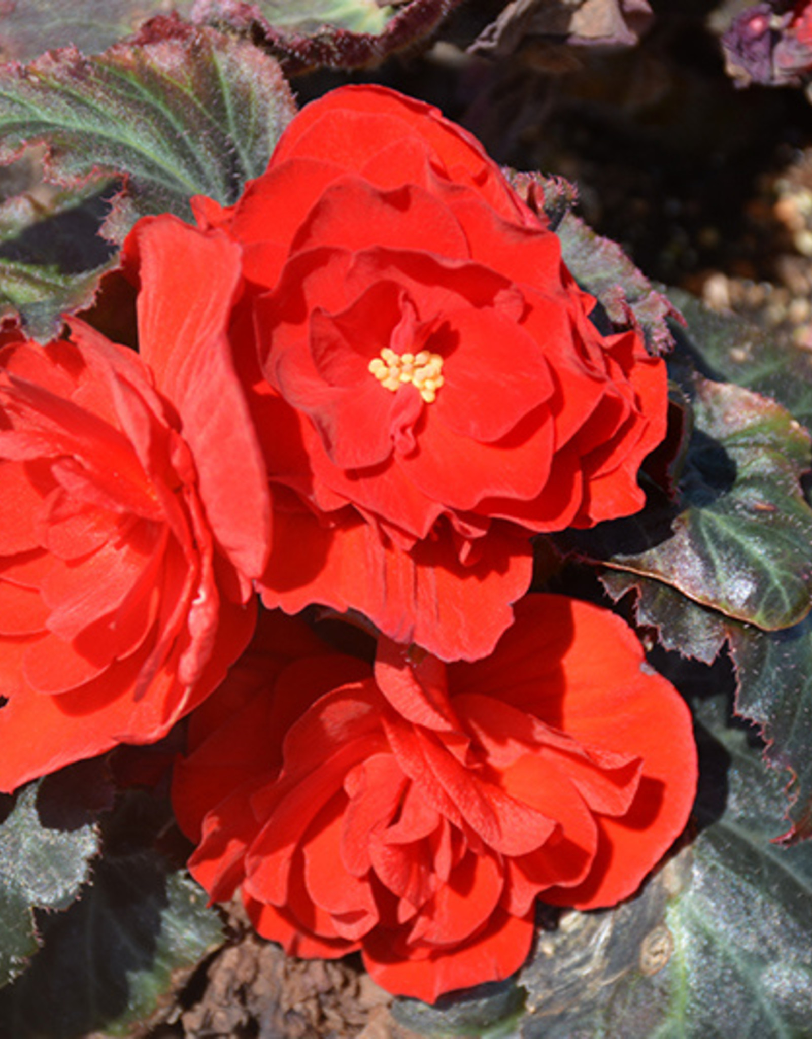 """Squak Mtn Begonia Nonstop Mocca Red 4"""""""
