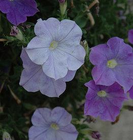 Squak Mtn Petunia 'Bravo Sky Blue' Pack