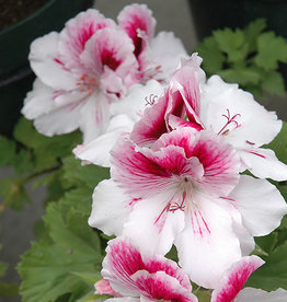 Squak Mtn Regal Geranium 'Elegance Bravo' 4""