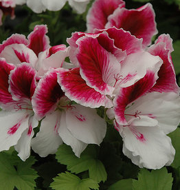 Squak Mtn Regal Geranium 'Elegance Royalty White' 4""