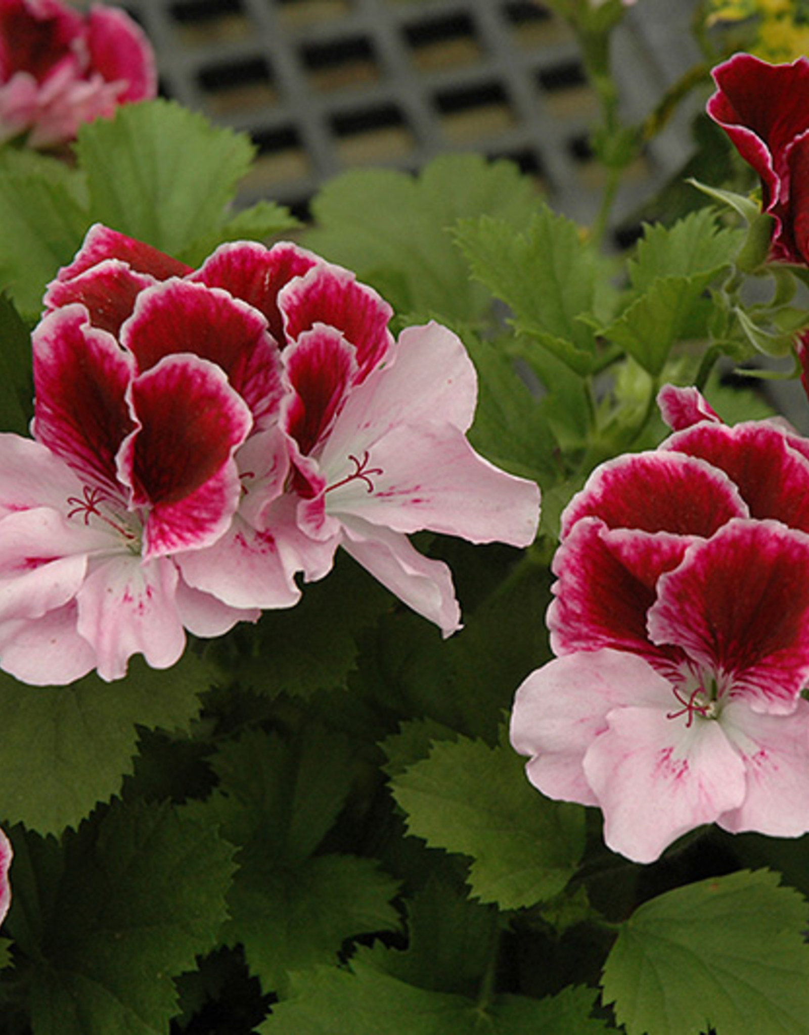 Squak Mtn Regal Geranium 'Elegance Purple Majesty' 4""