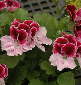 "Squak Mtn Regal Geranium 'Elegance Purple Majesty' 4"""
