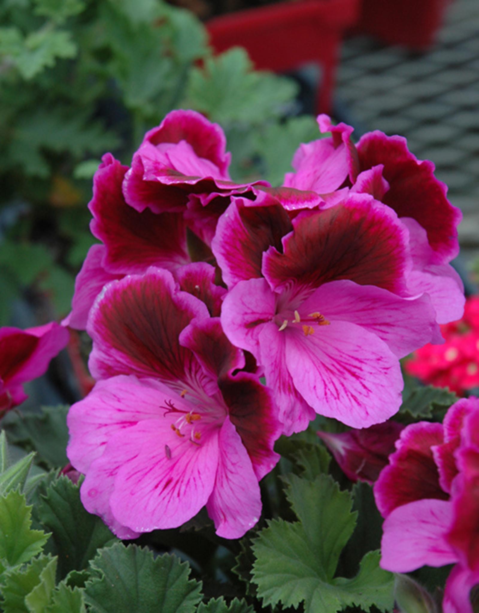 "Squak Mtn Regal Geranium 'Elegance Lilac Majesty' 4"""