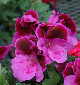 Squak Mtn Regal Geranium 'Elegance Lilac Majesty' 4""