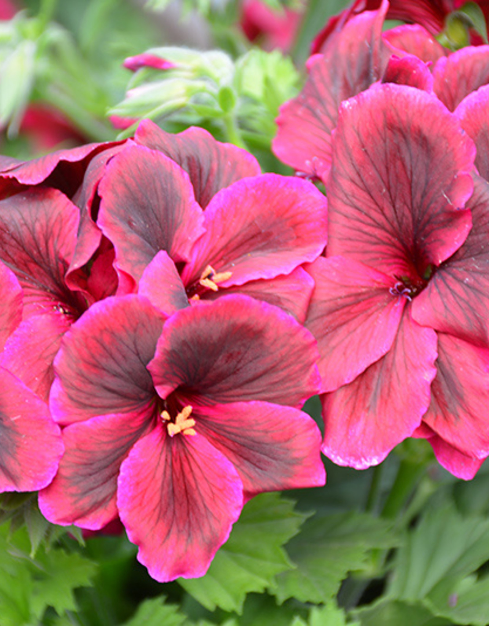 Squak Mtn Regal Geranium 'Elegance Burgundy' 4""