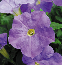Squak Mtn Petunia 'Headliner Sky Blue' 4""