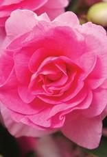 "Squak Mtn Impatiens Fiesta 'Bonita Pink' 4"""