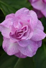 "Squak Mtn Impatiens Fiesta 'Bonita Stardust Lavender' 4"""