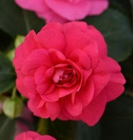Squak Mtn Impatiens Fiesta 'Bonita Rose' 4""