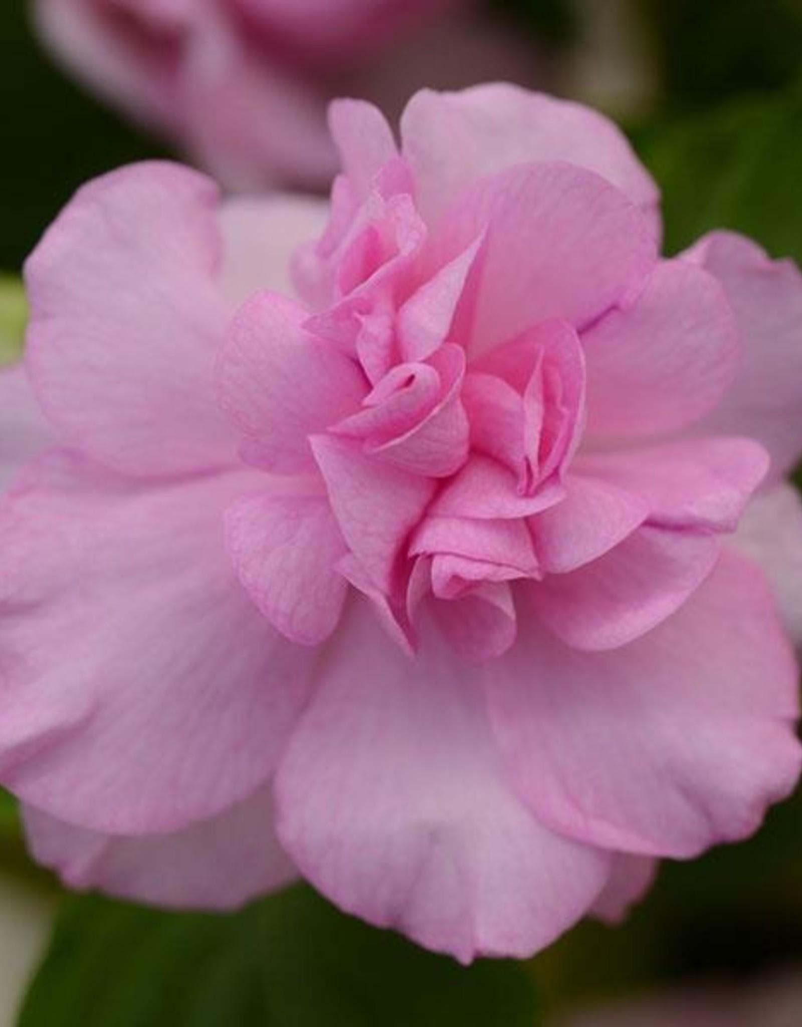 """Squak Mtn Impatiens Fiesta 'Lavender Orchid' 4"""""""