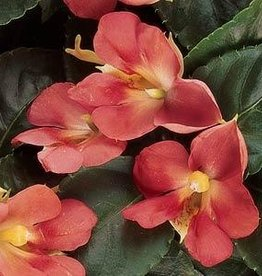 Squak Mtn Impatiens Fusion 'Heat Coral' 4""