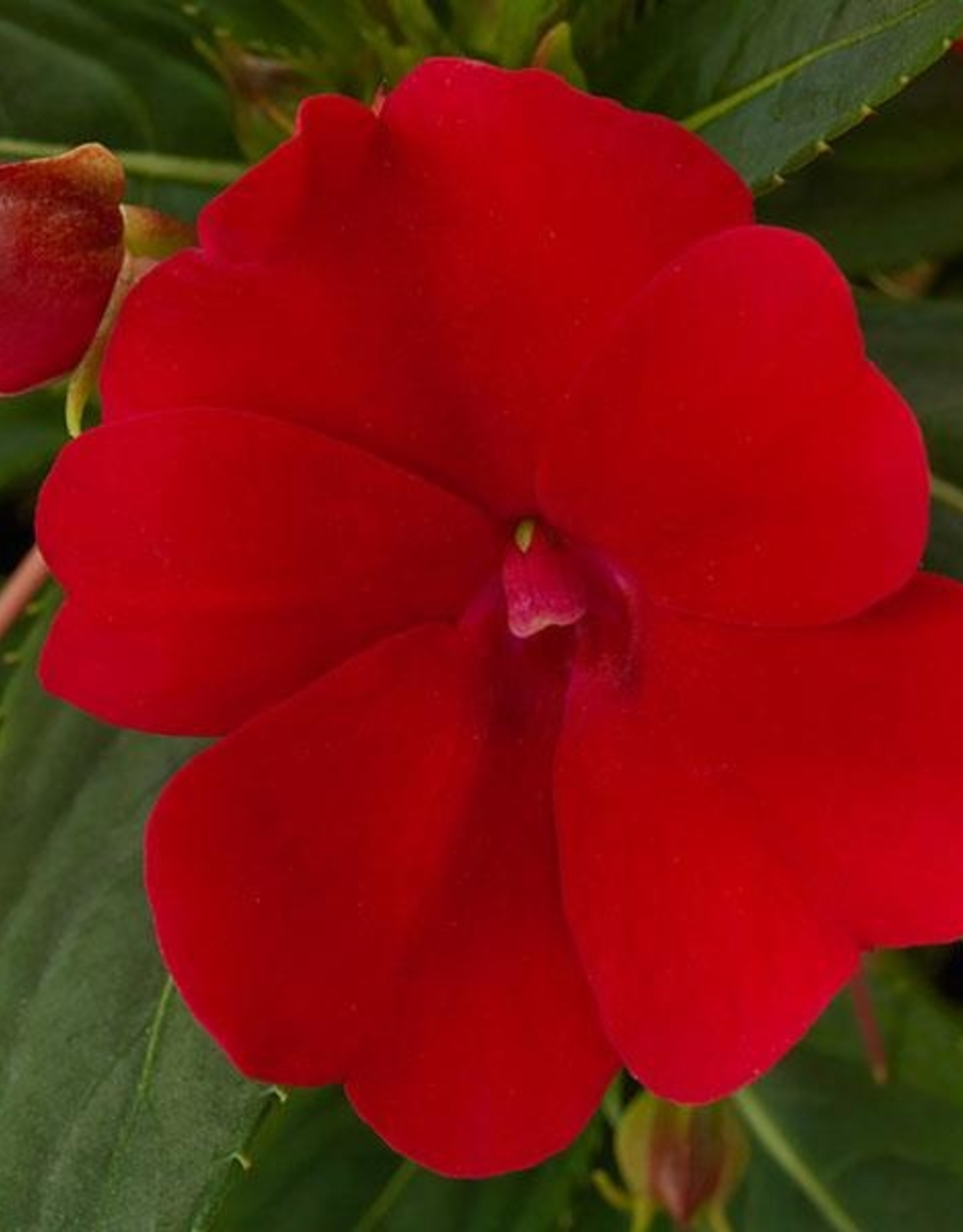 Squak Mtn Impatiens SunPatiens Compact 'Fire Red' Jumbo Pack