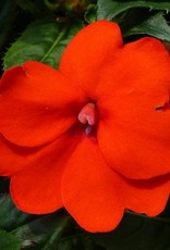 Squak Mtn Impatiens SunPatiens Compact 'Electric Orange' Jumbo Pack