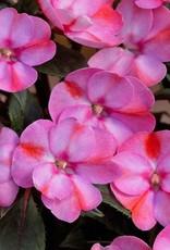 Squak Mtn Impatiens SunPatiens Compact 'Pink Candy' Jumbo Pack