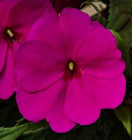 Squak Mtn Impatiens SunPatiens Compact 'Purple' Jumbo Pack