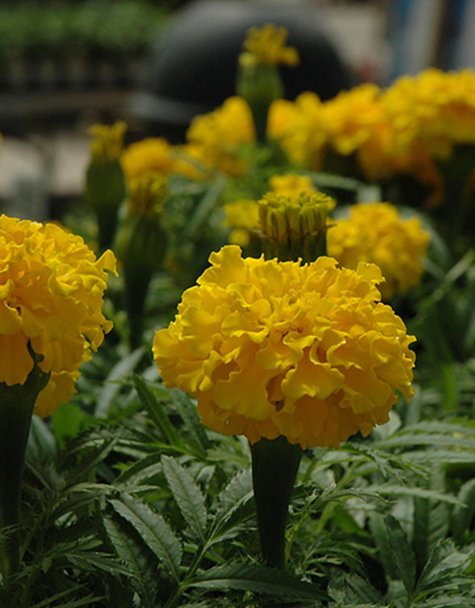 "Squak Mtn Marigold 'Safari Yellow' 4"""