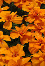 Squak Mtn Marigold 'Safari Tangerine' 4""