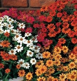 Squak Mtn Zinnia 'Profusion Mix' 4""