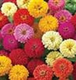 Squak Mtn Zinnia 'Dreamland Mix' 4""