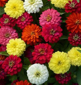 Squak Mtn Zinnia 'Zahara Double Mix' 4""