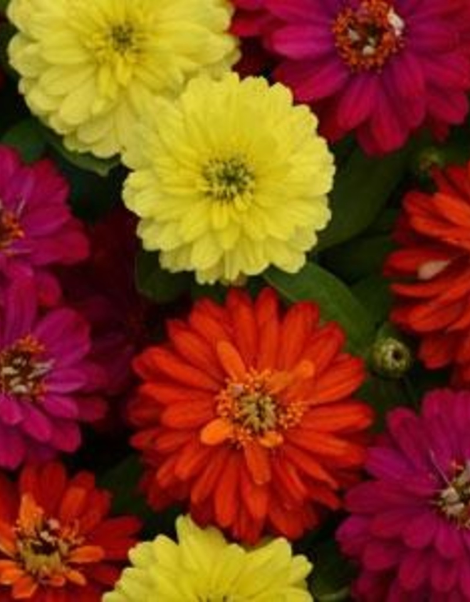 Squak Mtn Zinnia 'Zahara Mix' 4""