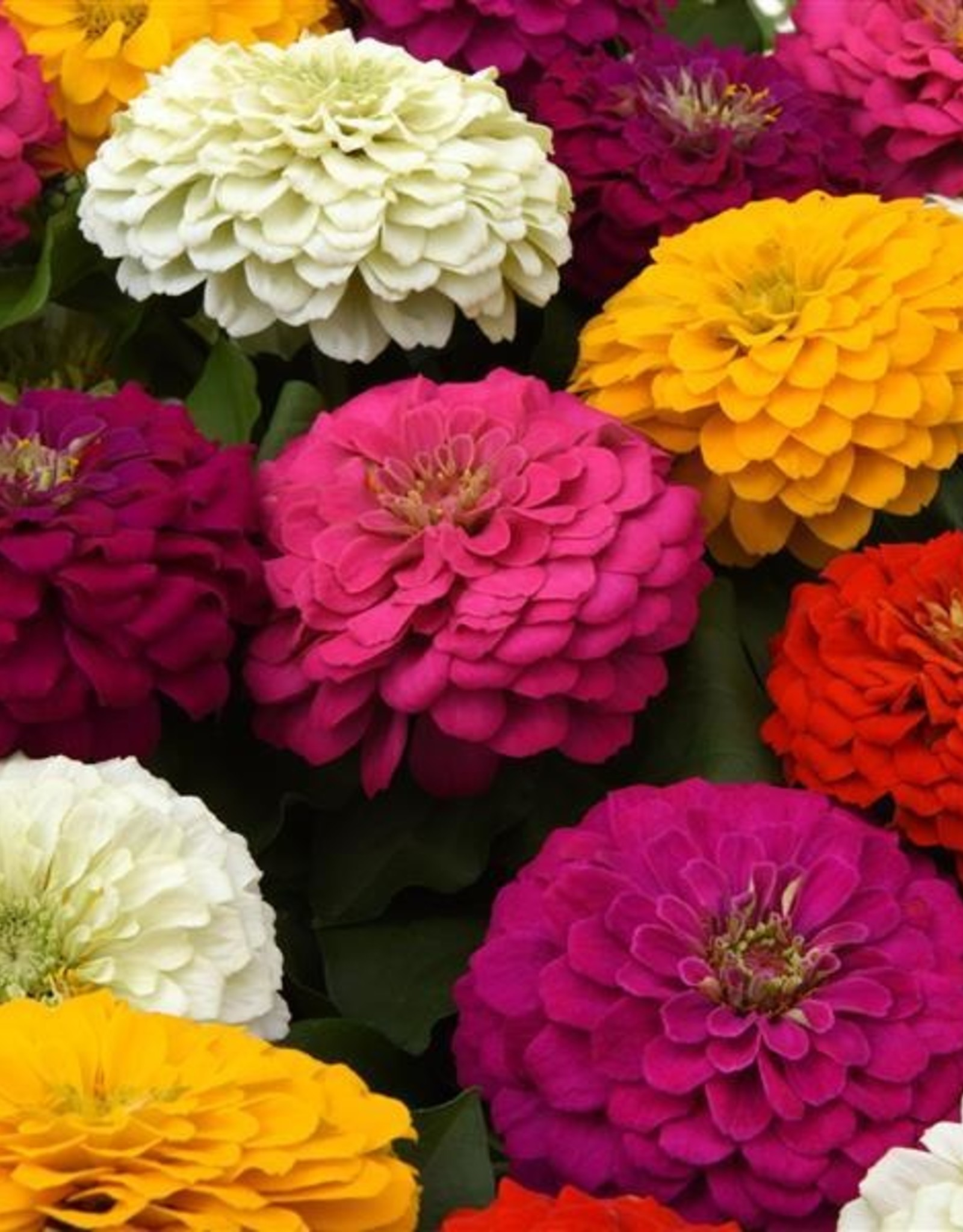 Squak Mtn Zinnia 'Zesty Mix' 4""