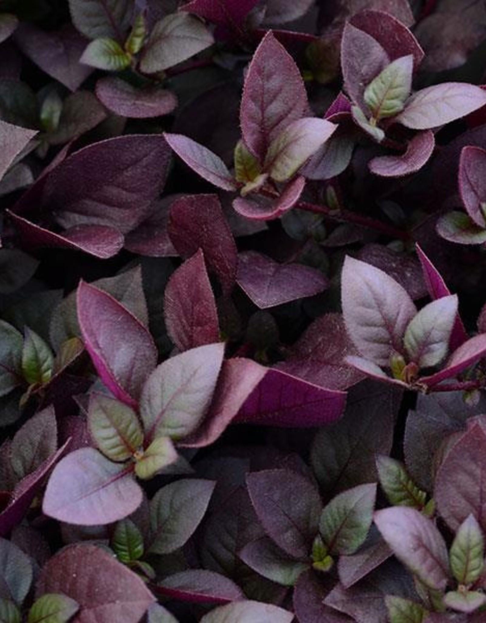 "Squak Mtn Alternanthera 'Purple Prince' 4"""