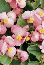Squak Mtn Begonia Prelude 'Pink' 4""