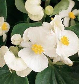 Squak Mtn Begonia Prelude 'White' Jumbo Pack