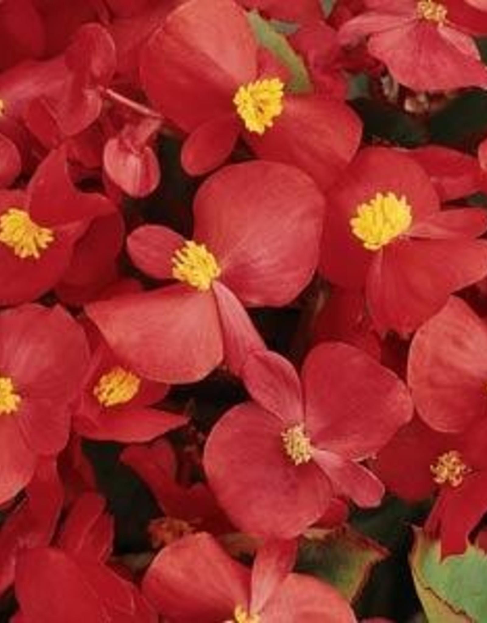 Squak Mtn Begonia Prelude 'Scarlet' Jumbo Pack