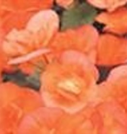"Squak Mtn Begonia Solenia 'Apricot' 4"""