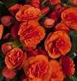 """Squak Mtn Begonia Solenia 'Orange' 4"""""""
