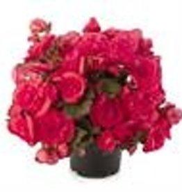 """Squak Mtn Begonia Solenia 'Dark Pink' 4"""""""