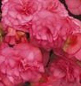 "Squak Mtn Begonia Solenia 'Light Pink' 4"""
