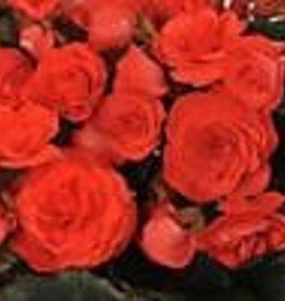 "Squak Mtn Begonia Solenia 'Red' 4"""