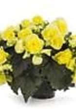 """Squak Mtn Begonia Solenia 'Yellow' 4"""""""