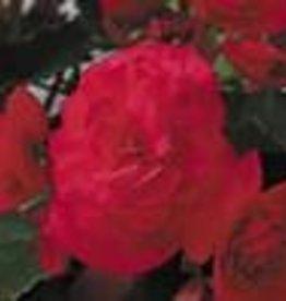 """Squak Mtn Begonia Solenia 'Cherry' 4"""""""