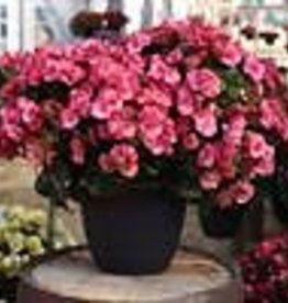 Squak Mtn Begonia Solenia 'Dusty Rose' 4""