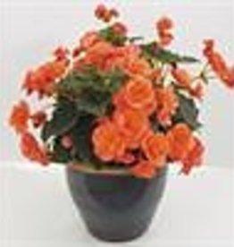"Squak Mtn Begonia Solenia 'Salmon' 4"""
