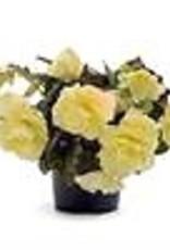 "Squak Mtn Begonia Fragrant Falls 'Lemon' 4"""