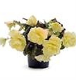Squak Mtn Begonia Fragrant Falls 'Lemon' 4""