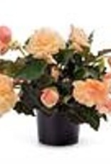 Squak Mtn Begonia Fragrant Falls 'Peach' 4""