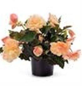 "Squak Mtn Begonia Fragrant Falls 'Peach' 4"""