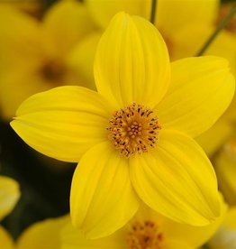 Squak Mtn Bidens Namid 'Early Yellow' 4""