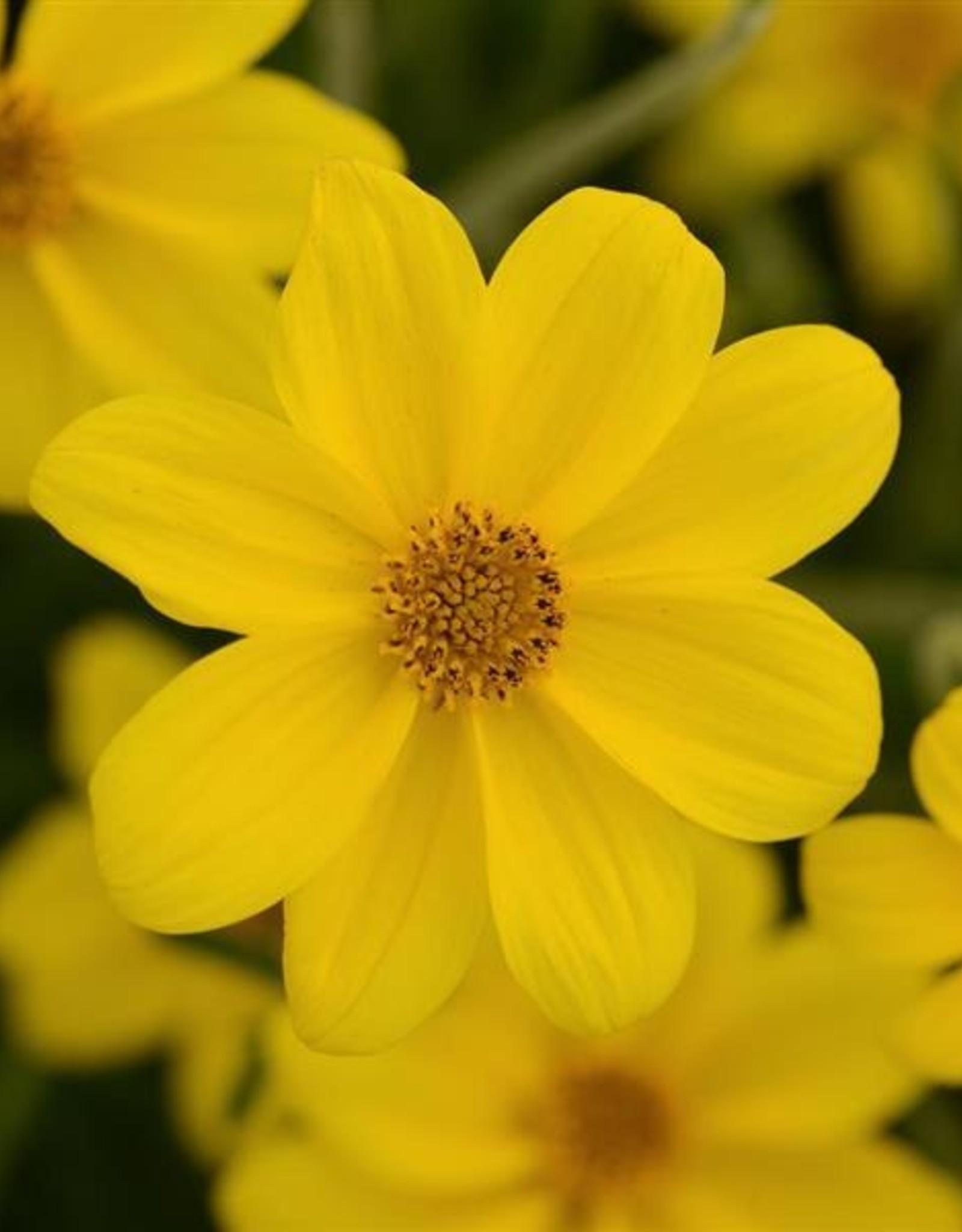 "Squak Mtn Bidens Namid 'Special Yellow' 4"""