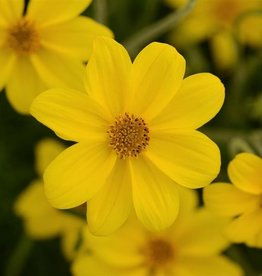 Squak Mtn Bidens Namid 'Special Yellow' 4""